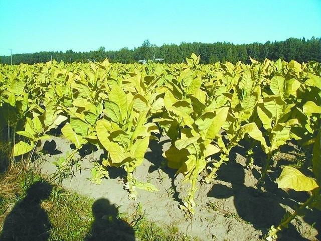 Tytoniowe żniwa będą trwały do pierwszych przymrozków. Czasami liście zbierane są jeszcze w październiku.
