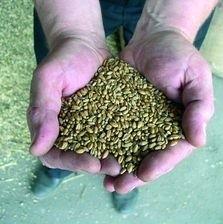 Jeszcze podczas żniw w białostockich PZZ-ach  za tonę pszenicy rolnicy mogli otrzymać 650 zł. Teraz 540 zł.
