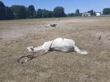 Padło stado dorosłych koni w Turach. Będą badania, jest śledztwo policji. Być może przyczyną śmierci zwierząt była zatruta woda