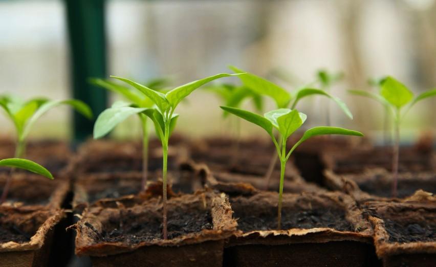 Zespół badawczy zaszczepił 15 ziaren, orzechów i nasion...