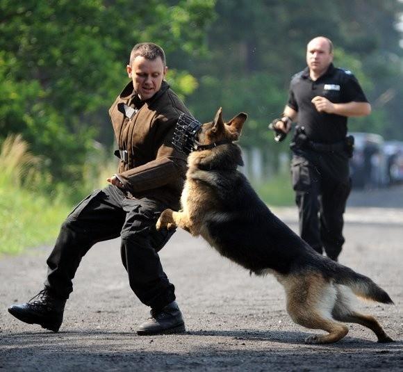 Gdy zajdzie potrzeba, policyjne owczarki potrafią pokazać, co potrafią.