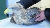 Uratowali orła bielika
