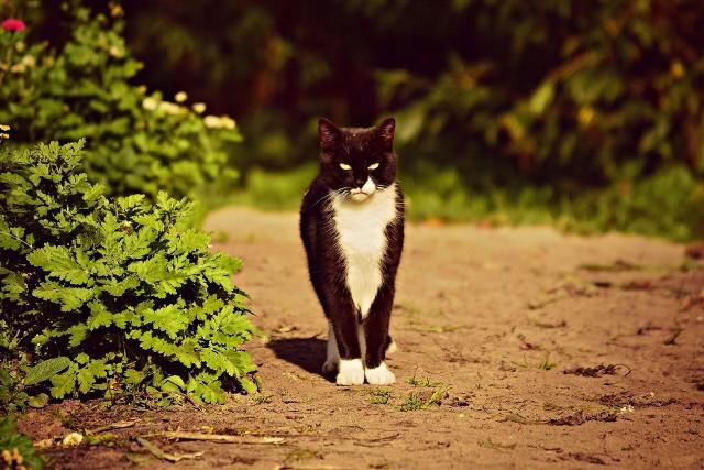 Wiosenne walki kotów nie muszą mieć związku z rozmnażaniem, u zwierząt wysterylizowanych mają charakter terytorialny