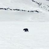 Tatry. Niedźwiedź zaglądnął do Doliny Pięciu Stawów Polskich [ZDJĘCIA]