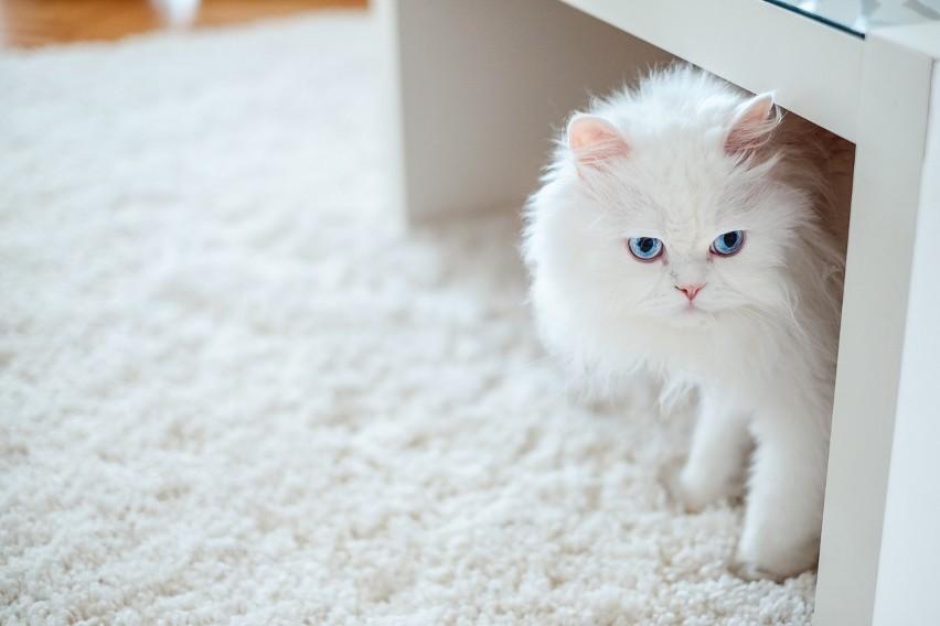 Pierwsze hodowle kotów perskich to były hodowle kotów o...
