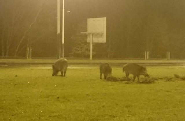 """Do zagrody w Ośrodku Rehabilitacji Dzikich Zwierząt w Łagiewnikach  tylko w ostatnich tygodniach trafiło  kilkanaście dzików. Tyle  odłowiono w mieście.  Na tym nie koniec. W poniedziałek 2 marca  leśnicy  miejscy zostali zaalarmowani, że  trzy osobniki penetrowały teren przedszkola przy al. Wyszyńskiego, na szczęście ok. godz. 5 rano. """"Polowanie"""" trwało ok. trzech godzin, po których nieproszonych gości udało się uśpić i odtransportować do Łagiewnik.Czytaj na kolejnym slajdzie"""