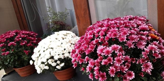 Czytelnicy Echa Dnia podzielili się swoimi zdjęciami zakupionych chryzantem. Pokazują, jak sprzedawcom kwiatów można pomóc! Też kupiłeś chryzantemy i ozdobiłeś nimi balkon lub podwórko? Wyślij zdjęcia na radom@echodnia.eu dodamy je do galerii.
