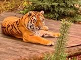 """Uratowane tygrysy przełamały strach i biegają po wielkim wybiegu w zoo Canpol pod Człuchowem. """"Chcemy przywrócić im wiarę w siebie"""" [wideo]"""