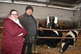 Krowy w Lińsku mają szansę na dłuższe życie, bo tam wydajność nie jest najważniejsza [zdjęcia]