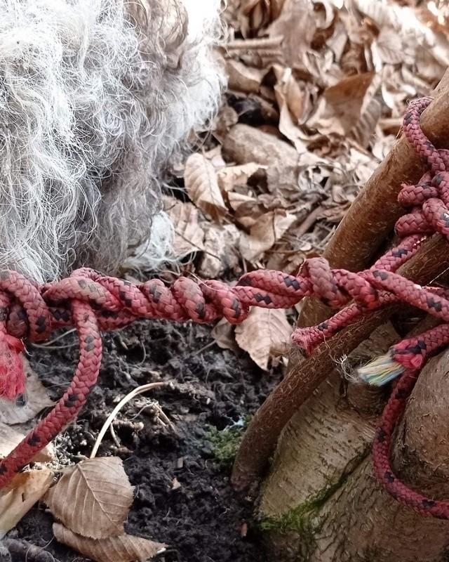 Piesek w typie teriera walijskiego umierał w męczarniach w lesie