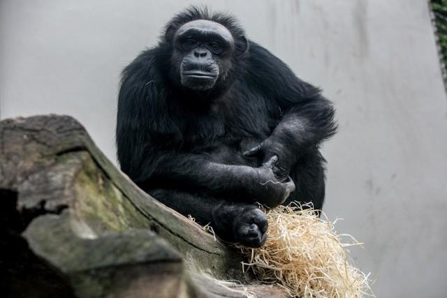 W 1966 r. uciekła ze swojej klatki z poznańskiego zoo dorosła szympansica.