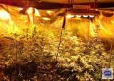 Plantacja konopi w gminie Wołczyn. Policjanci zatrzymali 50-latka, który uprawiał w domu rośliny służące do wytwarzania marihuany
