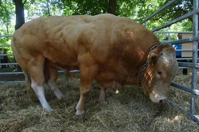W czasie Regionalnej Wystawy Bydła Mięsnego zostaną wyłonieni czempioni i wiceczempioni.
