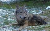 Świętokrzyski wilk Bartek szuka partnerki. Opuścił watahę i powędrował na Mazowsze