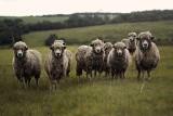 Czy będą też płatności za polepszenie warunków hodowli na inne zwierzęta niż krowy, świnie i owce?