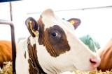 O ponad połowę mniej pieniędzy na rozwój hodowli zwierząt zaplanowano na przyszły rok. Związki branżowe domagają się spotkania z ministrem