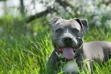 Agresywne rasy psów. Poznaj 14 najbardziej niebezpiecznych ras psów. Lepiej do nich nie podchodź [17.04.2021]