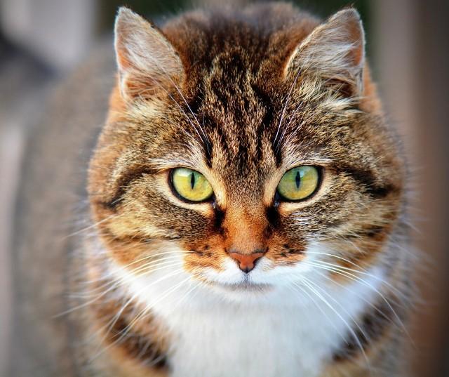 """Koty potrafią nam pokazać swoje niezadowolenie, ale również radość. W dalszej części galerii poznasz """"język kotów""""."""