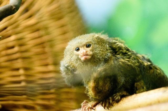 Pigmejki w toruńskim ZOO zamieszkują od 2007 roku. Do tej pory były tylko dwie, ale niedawno stadko miniaturowych małpek z rodziny pazurkowców powiększyło się. Najmniejsze małpki świata, zamieszkujące w Ogrodzie Zoobotanicznym w Toruniu, doczekały się bliźniaków. Pigmejki przyszły na świat we wrześniu. W naturze pigmejki zamieszkują lasy deszczowe zachodniej Brazylii, południowo-wschodniej części Kolumbii oraz wschodnich obszarów Ekwadoru i Peru. Są najmniejszym przedstawicielem małp - długość ich ciała wynosi średnio 14-16 cm, ogon mierzy od 15 do 20 cm, a średnia waga, to ok. 85 g. Małpki doskonale wspinają się po drzewach. Żywią się owocami, liśćmi, owadami, larwami, sokiem drzew oraz małymi kręgowcami  i bezkręgowcami. Najczęściej żyją w parach lub małych, rodzinnych grupach.