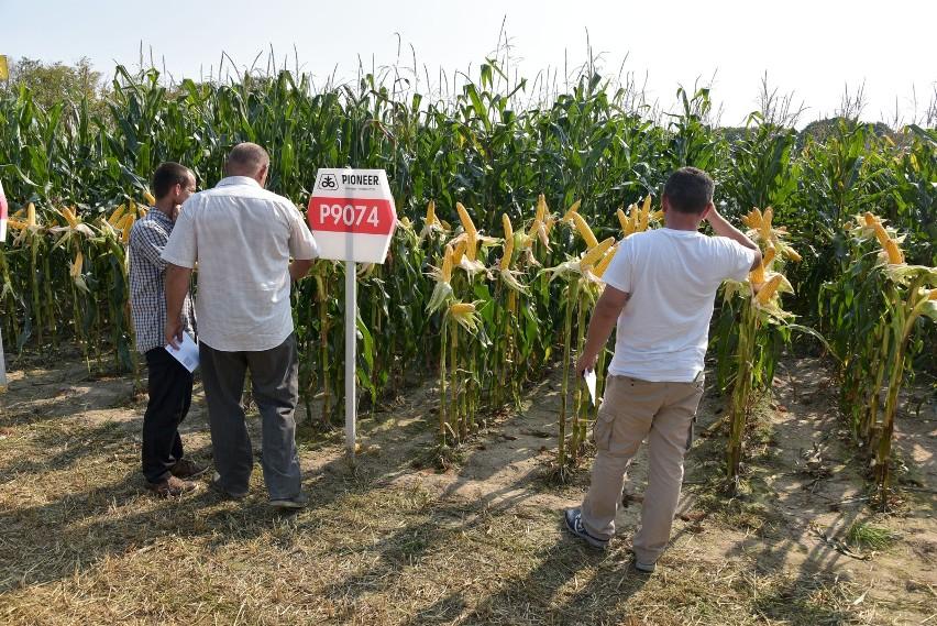 Podlaski Dzień Kukurydzy Już W Najbliższą Niedzielę Warto