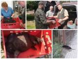 Potrącony bóbr z Nadleśnictwa Browsk uratowany przez leśników i lekarzy. Zdrowe zwierzę zostanie wypuszczone (zdjęcia)