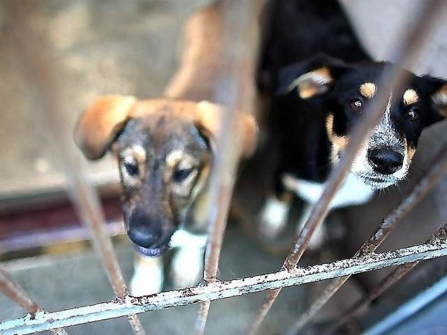 Schronisko dla zwierząt w Bydgoszczy jest przepełnione, a śmiertelność zwierząt w nim wynosiła w 2011 r. aż 30 procent