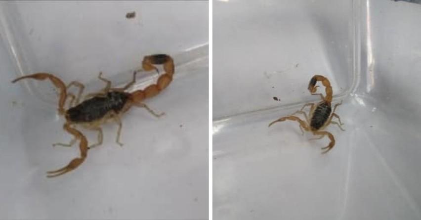 Skorpion w sklepie odzieżowym w Toruniu! [zdjęcia]