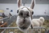 Animal Fest na MTP w Poznaniu. Obrońcy praw zwierząt uważają, że to promocja hodowli zwierząt egzotycznych