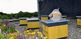 Pszczoły zamieszkały na dachu Hiltona. Pasieka składa się z sześciu uli Było już pierwsze miodobranie