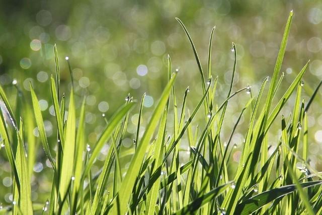 Kalendarz pylenia roślin 2019 lipiec: trawy
