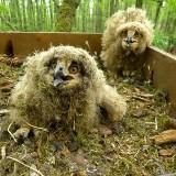 Bubo bubo w podlaskich lasach. W przygotowanym przez leśników gnieździe pojawiły się trzy małe puchacze (zdjęcia)