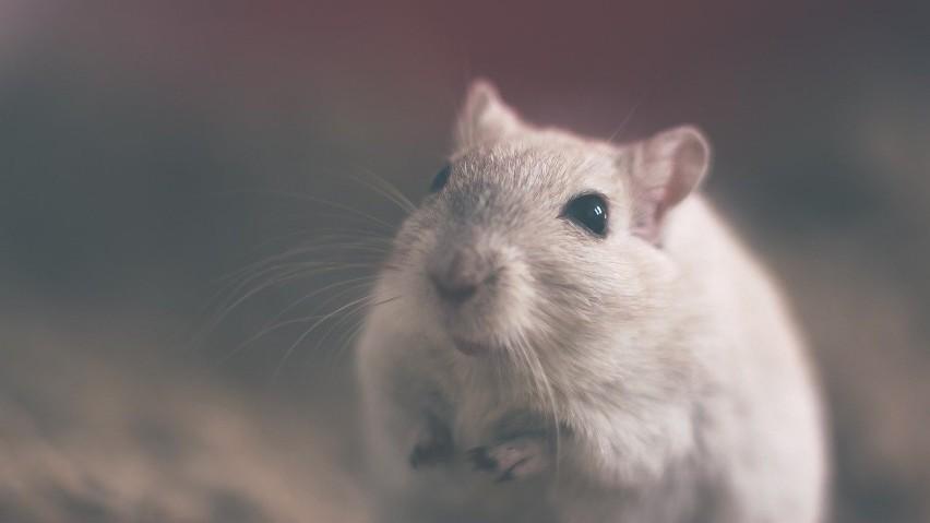 Szczur...