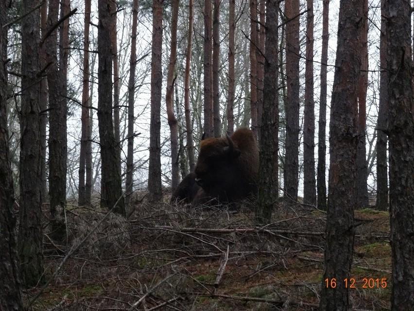 Żubry już na stałe zadomowiły się w lubuskich lasach.