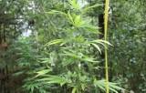 Plantacja konopi pod Hajnówką, amfetamina i marihuana. Dwóch mężczyzn zatrzymanych (zdjęcia)