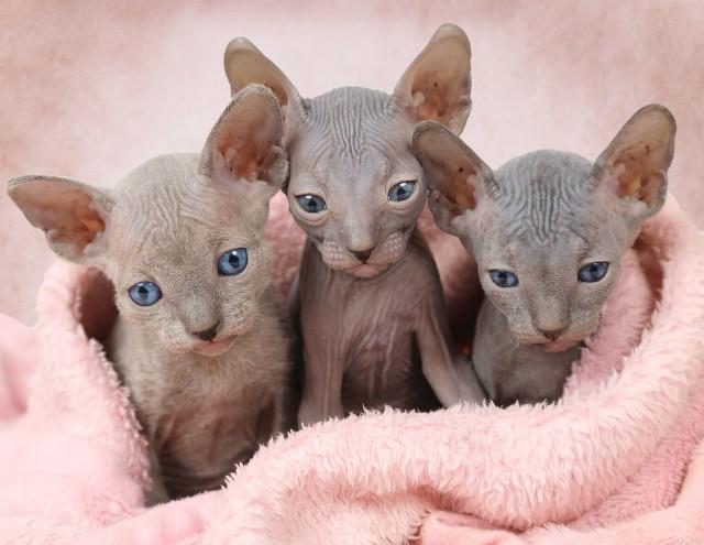 Zadziwiające rasy kotów.