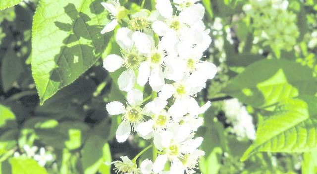 Spotykana na krajach lasów, kwitnie w maju i mocno pachnie