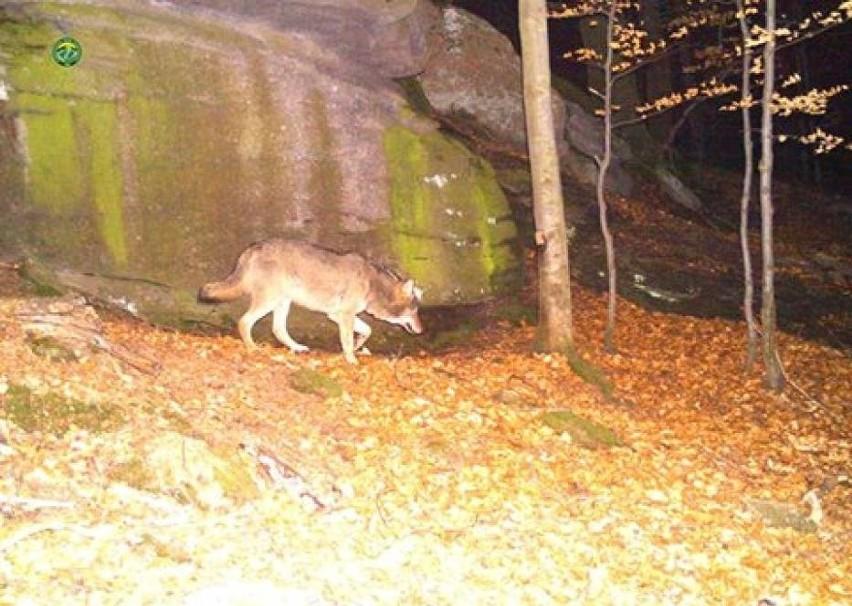 Wilki w Karkonoszach! Powrót drapieżników do Karkonoskiego Parku Narodowego
