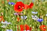 Koluszkowianie dostaną 300 bezpłatnych pakietów z nasionami roślin łąkowych