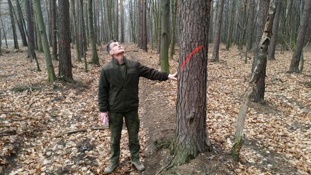 - Uschnięte drzewa są przeznaczone do wycinki. Staramy się usuwać je z lasu jak najszybciej - tłumaczy Joachim Hałupka z leśnictwa Kalinów.