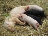 Świnie przerastają w chlewniach, a ich wartość rynkowa spada. Ceny i sytuacja na rynku