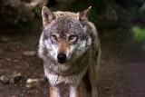 Kto podchodzi do wilka, filmuje go, robi mu zdjęcia - naraża się na atak. Nie znamy granicy tolerancji dzikiego zwierzęcia