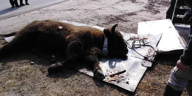 W lutym na terenie gminy Skoki pojawił się żubr Kopytko. Jak się jednak okazuje, nie ma go już na terenie naszego powiatu. Zwierzę zostało odłowione i wywiezione.