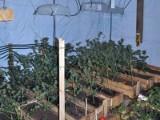Gmina Wielbark: Plantacja konopi indyjskich w restauracji. 26-letni właściciel zatrzymany (zdjęcia, wideo)