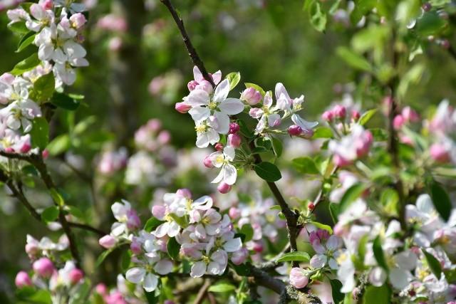 Kwitnąca jabłońW wiosennym ogrodzie rośliny zwracają na siebie uwagę swoim wyglądem. Jednocześnie sen z powiek może spędzić szkodnik lub choroba grzybowa, która dopada m.in. drzewka owocowe.