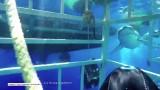 Przerażające wideo. Żarłacz biały wpłynął do klatki z nurkiem