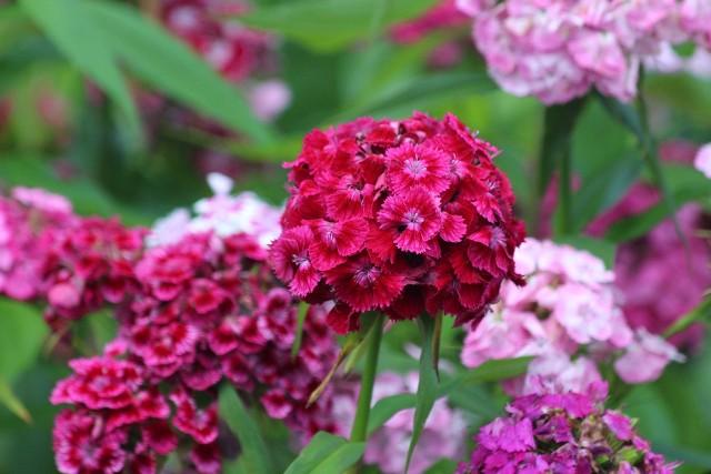 Kolorowe i pachnące goździki brodate nie są bardzo wymagające, a kwitną przez całe lato.