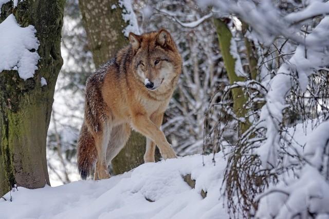 W 2010 roku wilków było ok. 750, pięć lat później liczba ta wzrosła do 1,5 tys., by w 2019 roku przekroczyć 3 tysiące osobników (dane GUS za GDOŚ, raport Ochrona środowiska 2020).