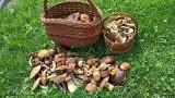 Grzybobranie 2021. Wysyp grzybów na Sądecczyźnie. Kosze borowików przynieśli mieszkańcy Muszyny oraz Nowego Sącza [ZDJĘCIA]