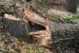 Posadzili drzewa przy drodze Koźle-Cisek, bo musieli
