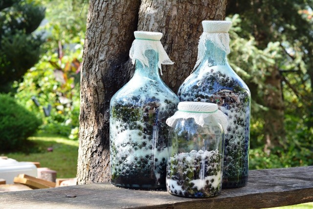 Owoce aronii zbierane po pierwszych przymrozkach nie wymagają mrożenia, są już mniej cierpkie niż te na przełomie sierpnia i września.
